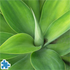 Agave Jigsaw Puzzle